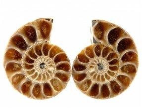 Small ammonites cut