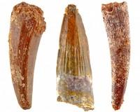 Pterosaur teeth from Morocco