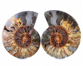 Sawn ammonites large