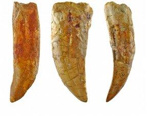 Carcharodontosaurus teeth