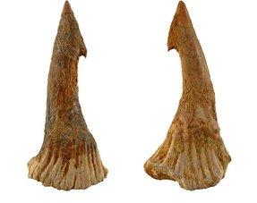 Sawfisch tooth