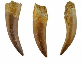Plesiosaurus tanden