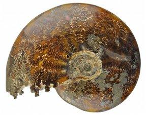 Fossil ammonites
