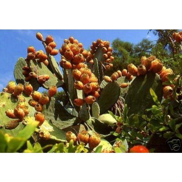 Biologische Pure Cactusvijgolie • Elixer