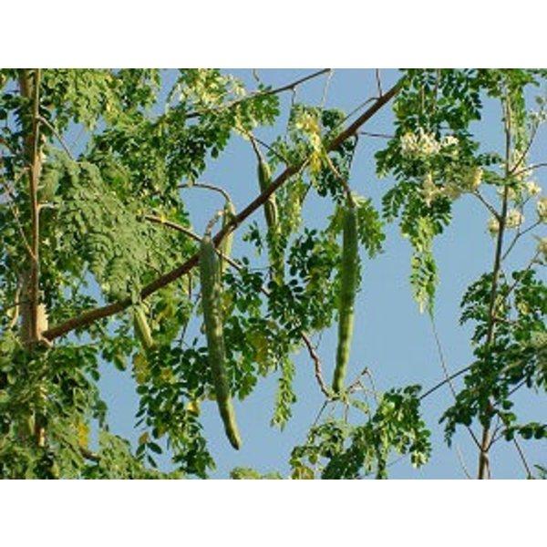Biologische moringa olie