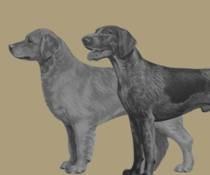 Middelgrote honden