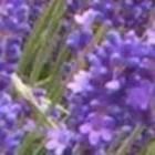 Odeur de Vie Lavendel stoombad milk 1 Liter