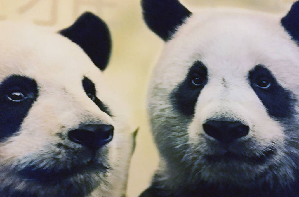 Panda's Wu Weng en Xing Ya aangekomen in Rhenen