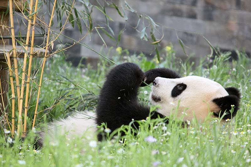 Reuzenpanda Wu Wen in Ouwehands Dierenpark (Foto: © Wendy de Bert)