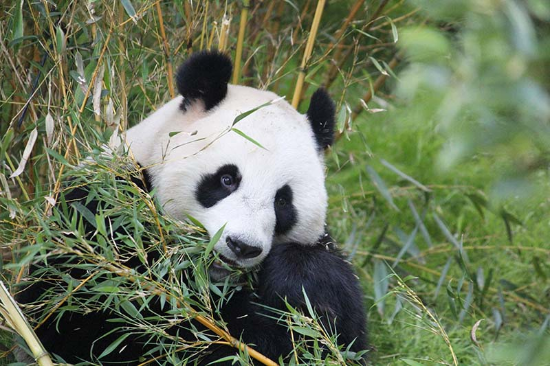 Reuzenpanda Wu Wen (Foto: © Wendy de Bert)