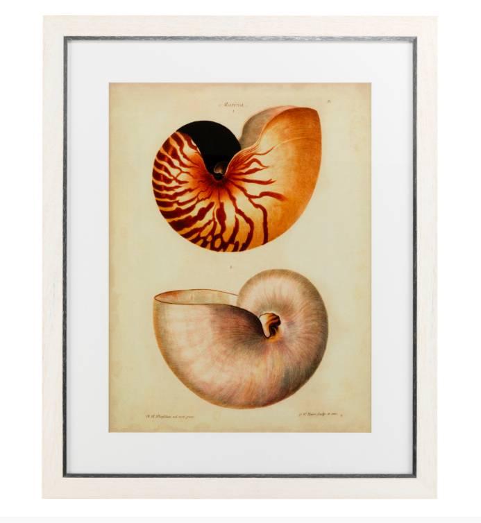 Antike Nautilus Drucke - Wilhelmina Designs