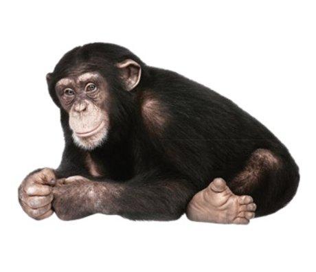 Kek Amsterdam Tatuajes de pared chimpancé, 29x44cm