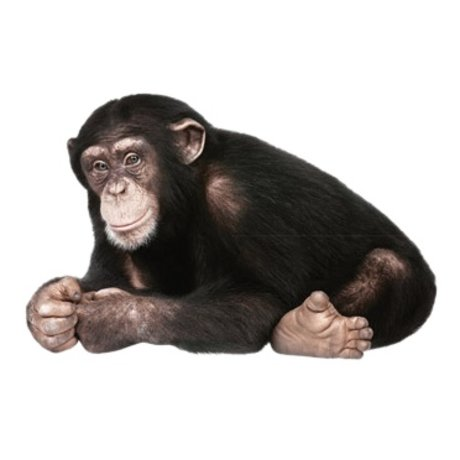 Kek Amsterdam Duvar Çıkartması şempanze, 29x44cm