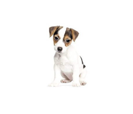 Kek Amsterdam Wall Decal Jack Russell puppy, 12x20cm