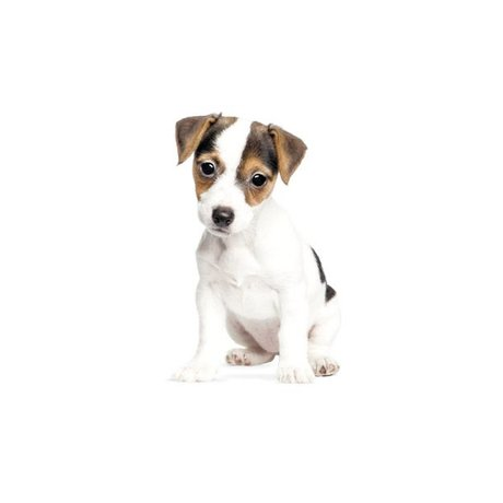 Kek Amsterdam Stickers muraux Jack Russell chiot, 12x20cm