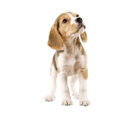 Kek Amsterdam Stickers muraux Beagle Puppy, 14x30cm