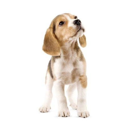 Kek Amsterdam Duvar Çıkartması Beagle Köpek, 14x30cm