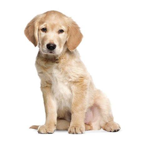 Kek Amsterdam Adesivo Golden Retriever puppy, 34x43cm