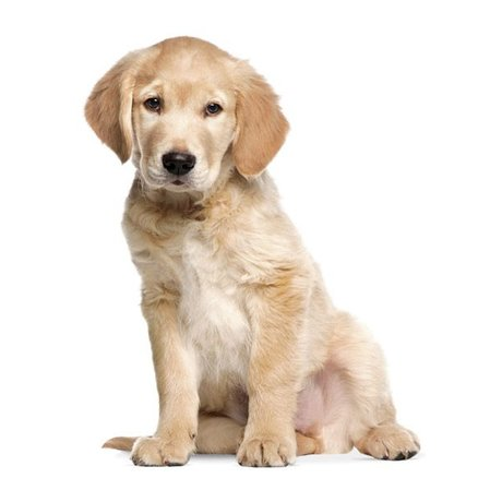Kek Amsterdam Wall Decal Golden Retriever puppy, 34x43cm