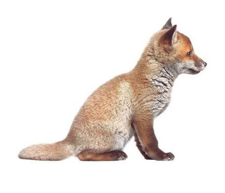 Kek Amsterdam Stickers muraux bébé Fox, brun, 34x26cm