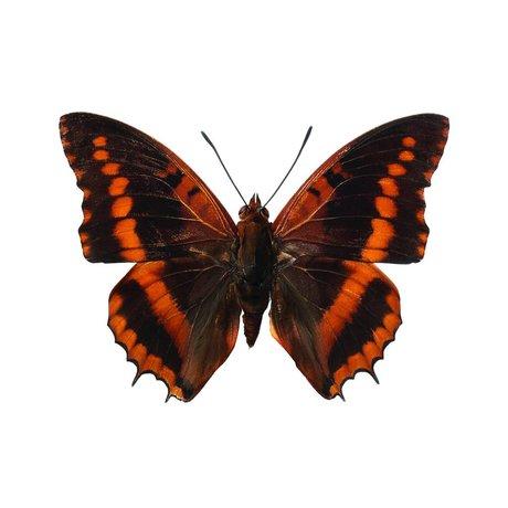 Kek Amsterdam Wall Stickers Butterfly 954, brun, 17x12cm