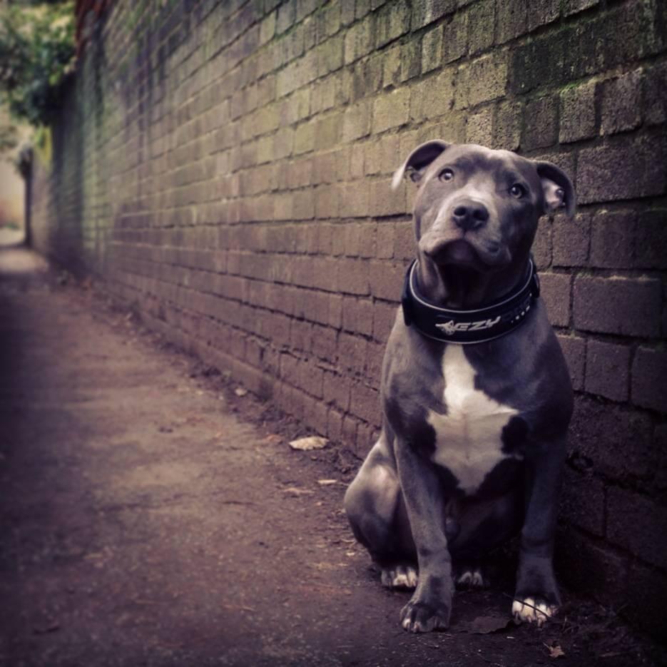 Neapolitan Mastiff Karachi Neo kcp dog show very good. - YouTube
