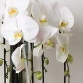 Close up van een Orchidee