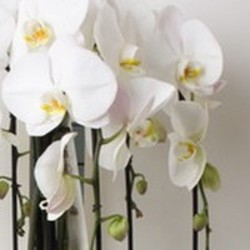 Hoe lang bloeit een orchidee