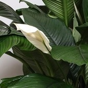 Close up van een Spathiphyllum