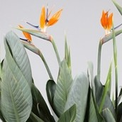 Close up van een Strelitzia