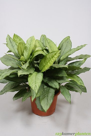 Aglaonema Bj Freedman - Chinese Evergreen
