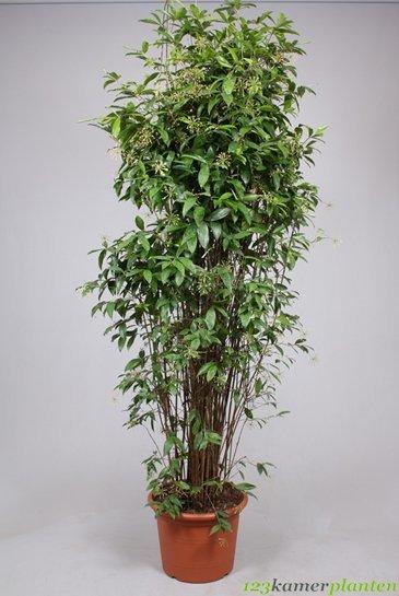 Dracaena Surculosa - Drakenbloedboom