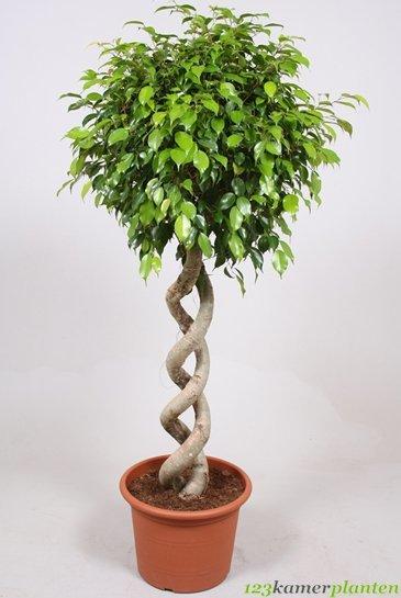 Ficus Exotica - Vijgenboom