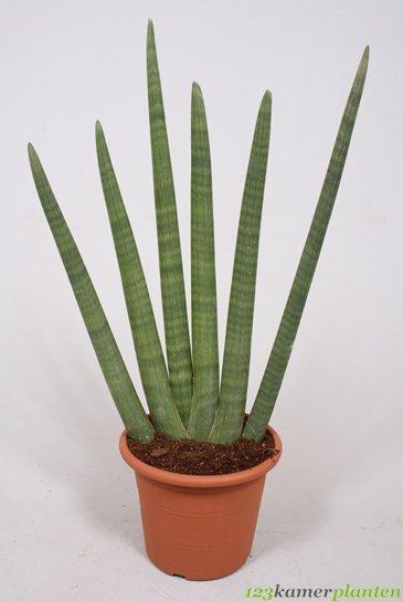 sansevieria cylindrica 85 cm kamerplant kopen 123kamerplanten. Black Bedroom Furniture Sets. Home Design Ideas