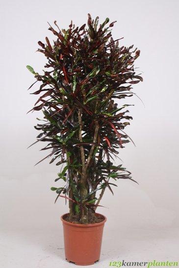 Croton Curly - Wonderstruik