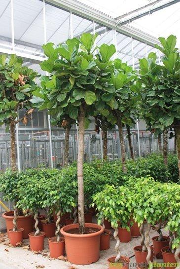 Ficus Lyrata - Vioolbladplant