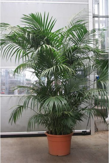 Palm Kentia Howea Forestiana