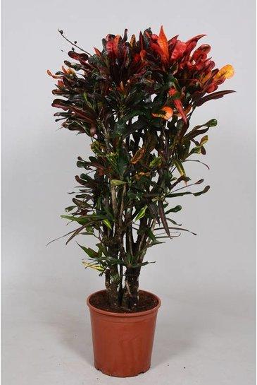 Croton Mammi - Wonderstruik