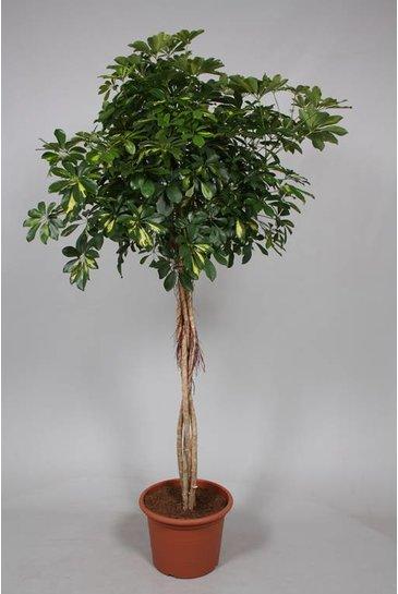 Schefflera Gold Capella - Vingersboom