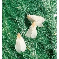 Witte vlieg informatie
