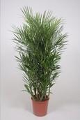 Palm Chamaedorea Seifrizii