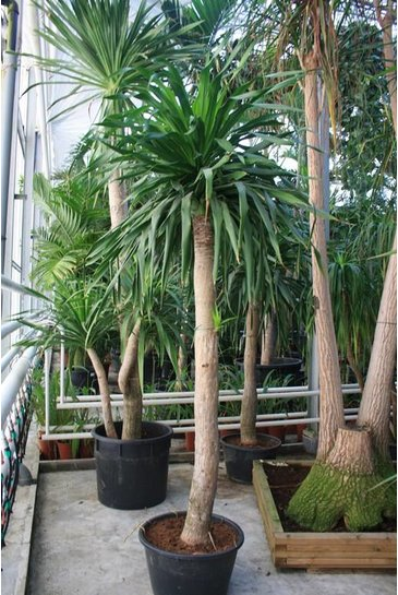 Dracaena Dragon - Drakenbloedboom