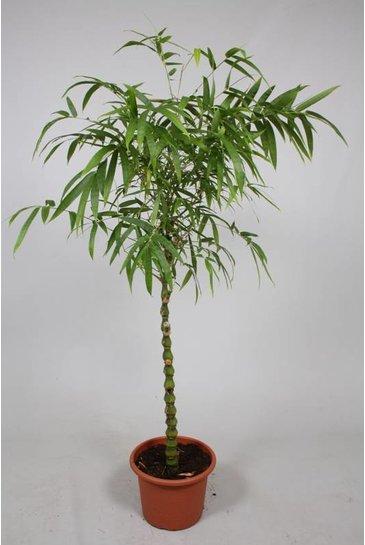 Bambusa Ventricosa - Bamboe