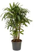 Palm Rhapis Excelsa
