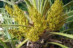 Chamaerops humilis in bloei