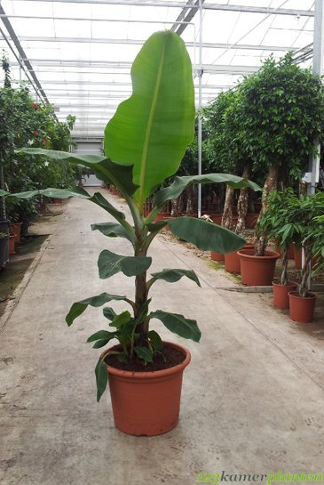 Musa - Bananenplant