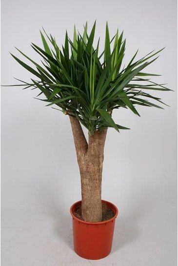 Yucca Elephantipes - Palmlelie