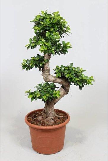 Ficus Microcarpa - Vijgenboom