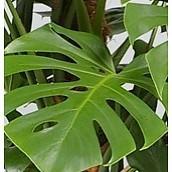 Hydrocultuur Philodendron Gatenplant kopen