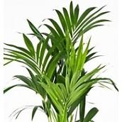 Grote kamerplanten 90 - 150 cm